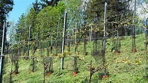 Weinspalier Freistehend Bauanleitung : weinberg 2013 oberschulrat adolf falb ~ A.2002-acura-tl-radio.info Haus und Dekorationen