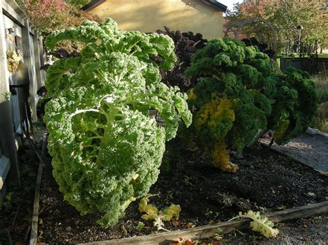 chou kale semis repiquage culture  recolte