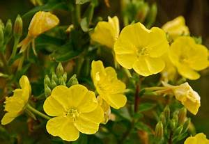 How to Create a Pollinator-Friendly Garden - Natural remedies for arthritis, Evening primrose ...  Rheumatoid Arthritis Evening Primrose