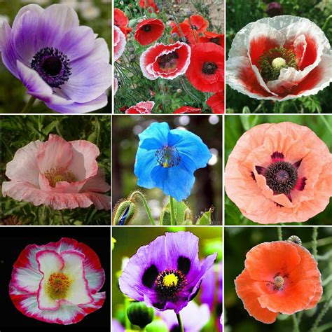 flower colors of pearl poppy mix papaver rhoeas flower seeds