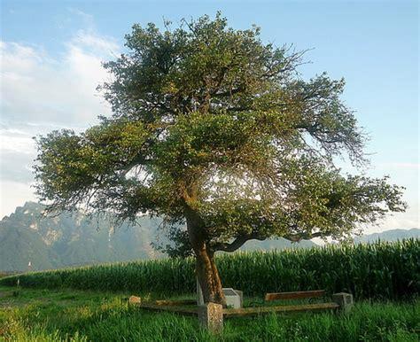 Baumrätsel Warum Ist Es Gut, Dass Dieser Birnbaum Keine