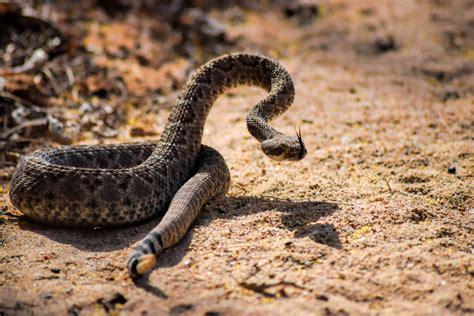 Venomous Snakes of North Carolina   Triangle Wildlife ...