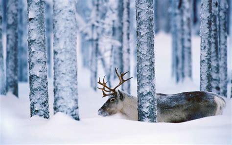 Wallpaper Reindeer by Sweden Reindeer Wallpapers Sweden Reindeer Stock Photos