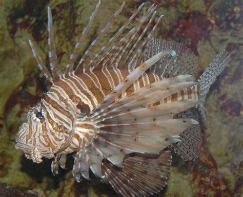 lionfish pterois volitans species invasive atlantic ocean coast north