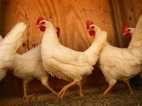 what to do with chicken how to avoid getting malaria sleep with a chicken science news the independent