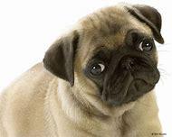 Cute Pug Puppies Dog