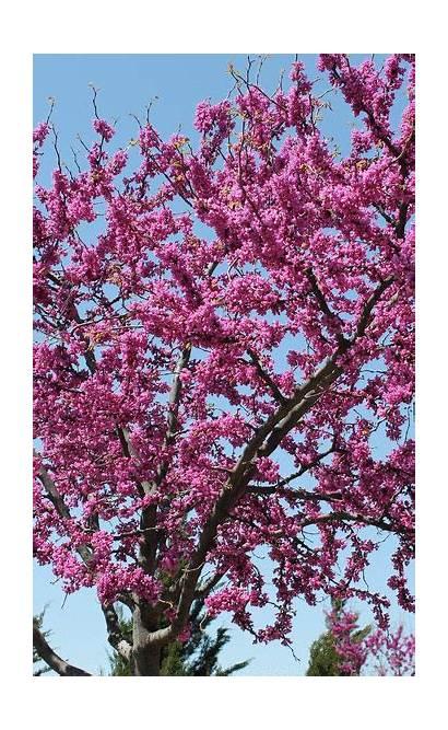 Redbud Trees Deciduous Flowering Spring Ohio Tree