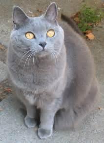 chartreux cat file chartreux cat j 001 jpg