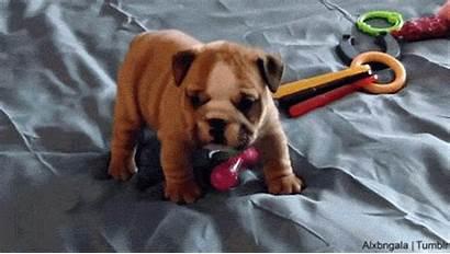 Dog Puppy Bulldog English Pets Gifs Adorable