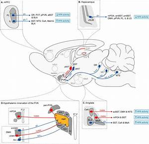 The Stress Neurocircuitry  A Schematic Representation Of A