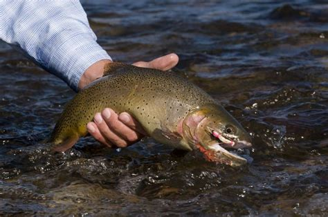 Pictures Of Trout Species From Our Local Idaho Rivers