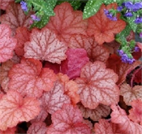 plants suitable for shade mixed starter pack x 6 different heucheras suitable for sun shade mix from the chelsea gold