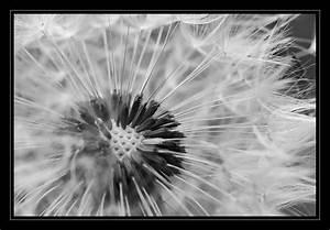 Bild Pusteblume Schwarz Weiß : pusteblume bild foto von silke sch aus natur schwarz weiss fotografie 6815395 ~ Bigdaddyawards.com Haus und Dekorationen