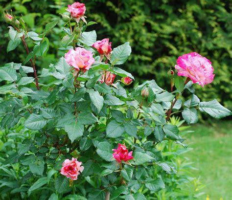 Rosier Jardin De Valloires by Les Rosiers Buissons Pour Cr 233 Er Des Massifs Types