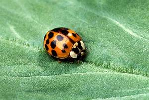 Population of multicolored asian lady beetles