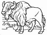 Buffalo Coloring Pages Bison Bills Head Indian Adults Cape Getcolorings Printable Sauti Pata Soldiers Getdrawings Colorings sketch template