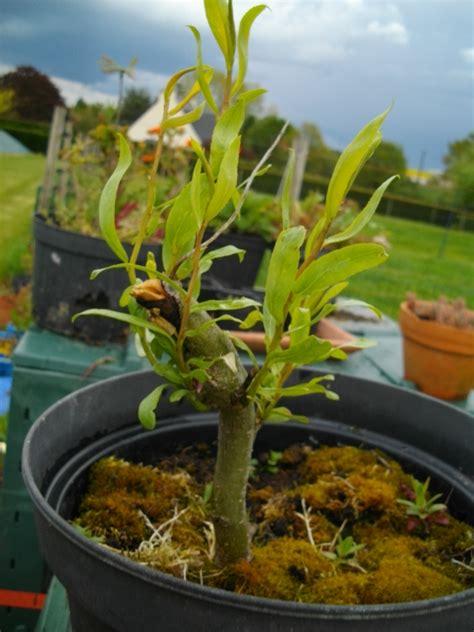 saule pleureur en pot arbres en pots de culture mes premiers bonsai pr 233 sentation et premiers projets forums
