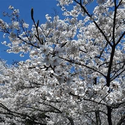Blossom Cherry Sakura Cinemagraph Gifs Animated Flower