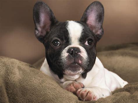 boston terrier dogs wallpaper  fanpop