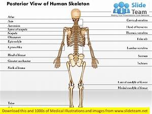 Posterior View Of Human Skeleton Medical Images For Power