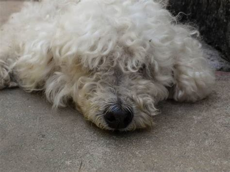 Why do Poodles Eat Feces?(and How to Stop It) – Poodle Report