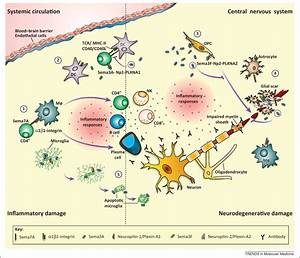 Semaphorins 3a And 7a  Potential Immune And