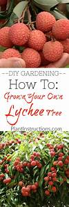 How To Grow Lychee Fruits From Seed