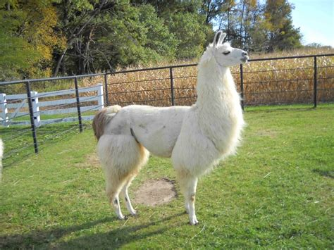 14 Best Images About Llamas Of Lake Pauline On Pinterest
