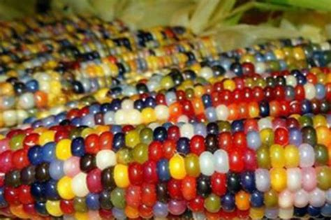 colored corn rainbow corns now available in the philippines balay ph