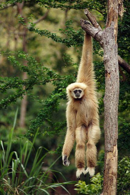 funny spider monkey hanging  tree branch luvbat