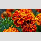 Marigold Flower Wallpaper | 1920 x 1080 jpeg 1335kB