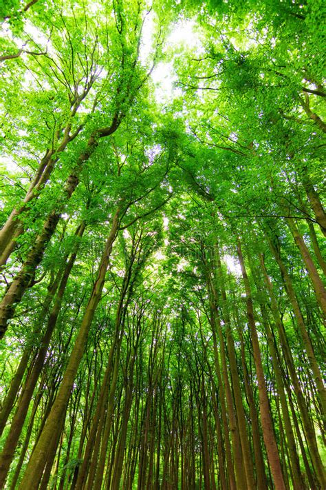 vertical forest stock photo image  shine canopy