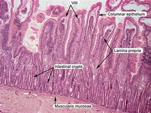Small Intestine Histology Labeled