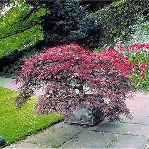 Arbre Ombre Croissance Rapide : erable pourpre du japon achat vente arbre buisson ~ Premium-room.com Idées de Décoration