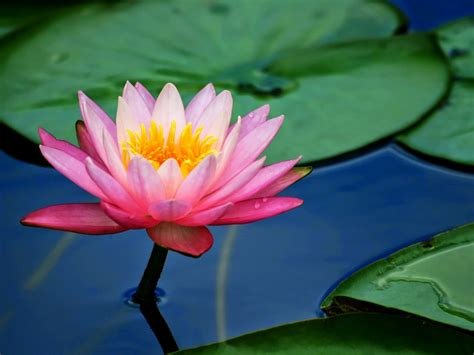 flower pink lotus flower  lily pads