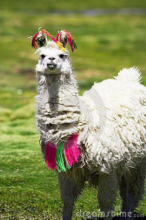 llama bolivia stock images image