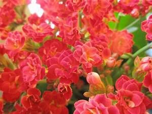 Lang Blühende Pflanzen : lang bl hende zimmerpflanzen kalanchoe ~ Eleganceandgraceweddings.com Haus und Dekorationen