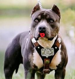 Image result for pitbull dog
