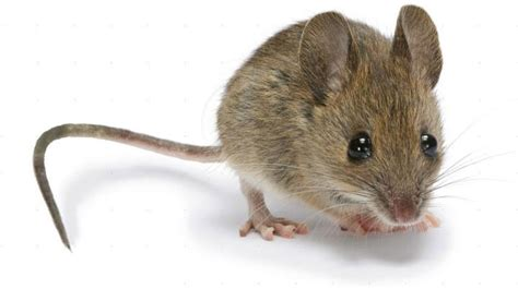 pictures of mice mice how to identity and get rid of mice in the garden and home the old farmer s almanac
