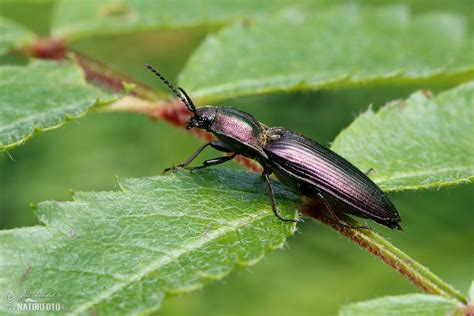 Click Beetle Photos, Click Beetle Images, Nature Wildlife ...