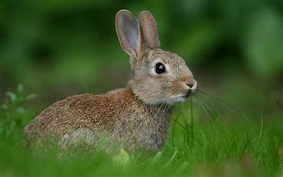 Rabbit Wallpapers Gray Rabbits Brown Animals