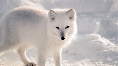 Fox Snow Animal Winter Artic Desktop 4k