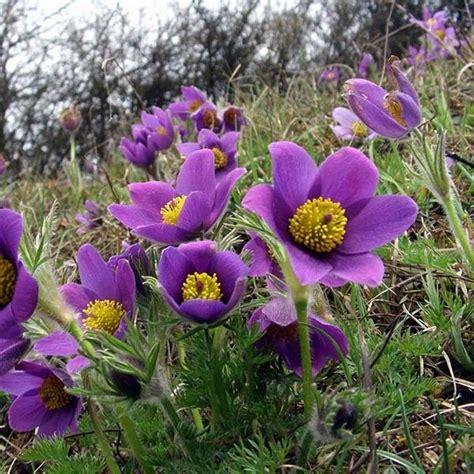 anémone pulsatilla pulsatilla vulgaris violet an 233 mone pulsatille