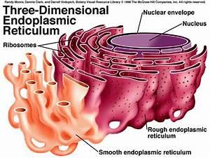 Smooth Endoplasmic Reticulum Use And Functions Golgi
