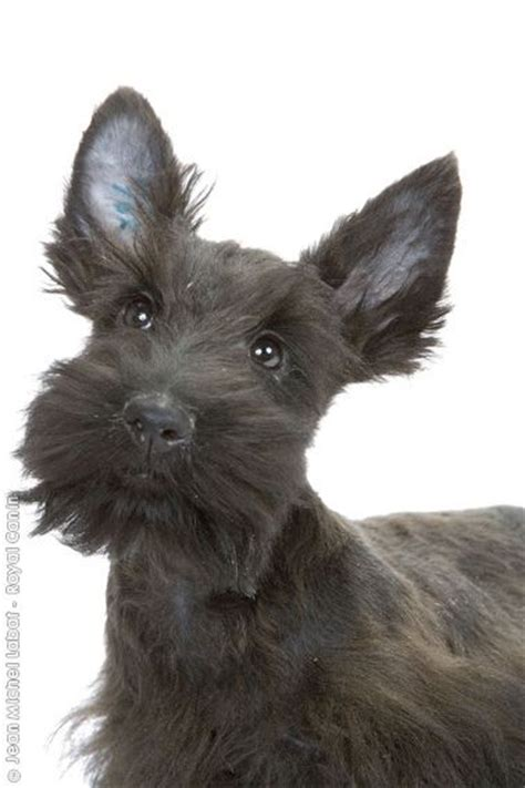 scottie dogs ideas  pinterest scottie