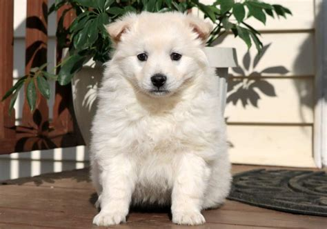 American Eskimo Shedding by American Eskimo Puppies For Sale Puppy Adoption