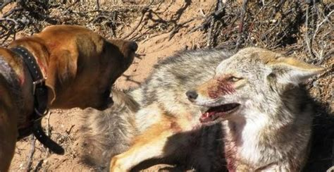 tt coyote  dogs predator university