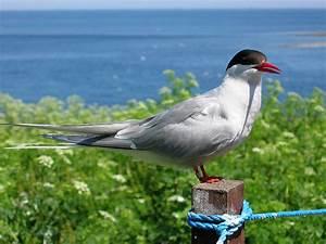 Arctic tern - Wikipedia