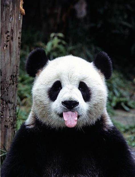 stickers animaux chambre bébé le bébé panda pouvez vous choisir le plus mignon