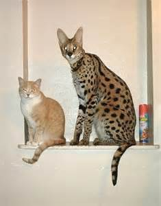 cats as pets serval on cats africans and cats